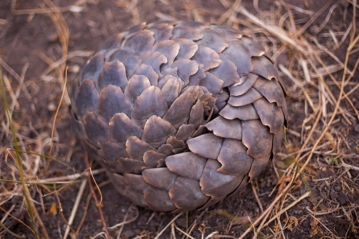 Pangolins, this one in Zimbabwe, are the world's most trafficked animal. Photo by David Bonnardeaux.