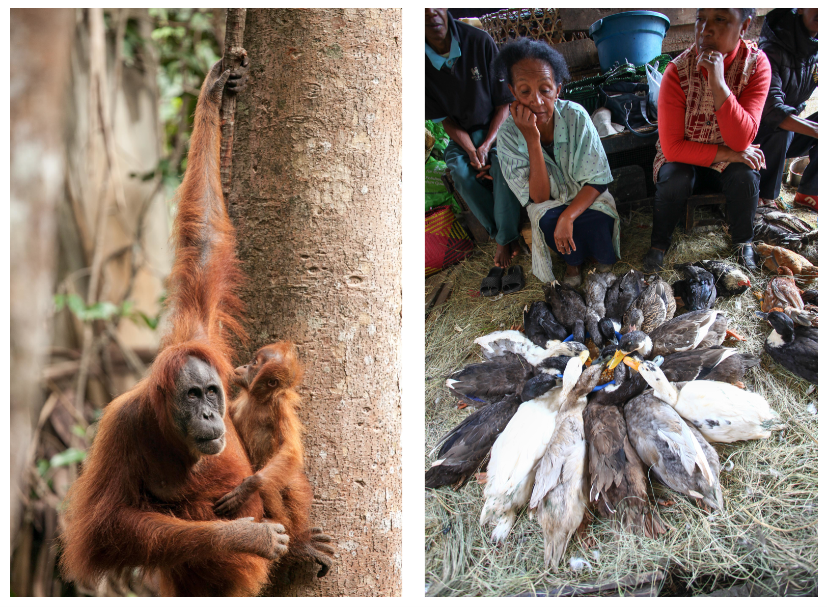 Orangutans in Indonesia, and a wet market in Madagascar. Photos by David Bonnardeaux.
