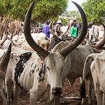 South Sudan cattle