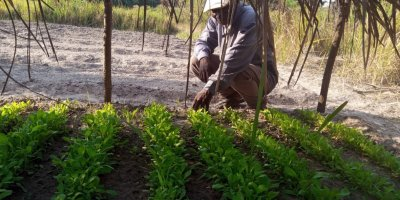 Banze Mwilambwe Kanage Ferdinand examines his crops, grown with support from the Tanganyika Conflict Mitigation and Reconciliation project. Credit: TCMR